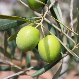 Derivados del Olivo